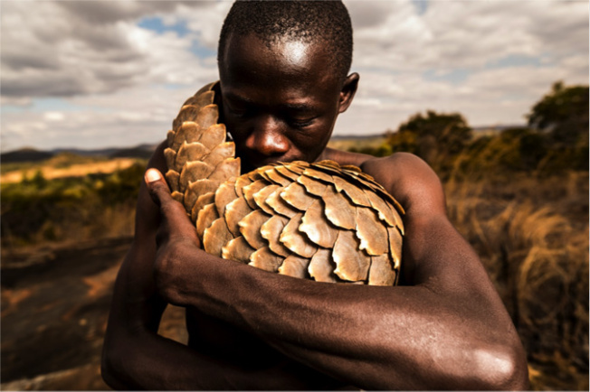Pangolin and Pangolin Man. Images of the pangolin keepers who rescue and rehabilitate pangolins, the most heavily trafficked mammal in the world, hunted for its meat and scales. Image: Adrian Steirn via Africa Geographic